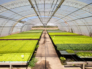 Industrial Plants Cultivation in a Hothouse